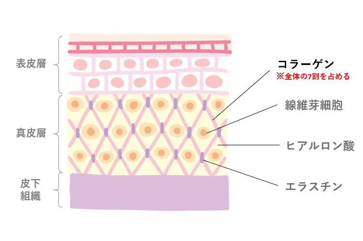 肌断面図(コラーゲン強調)
